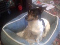 Male Black & White Jack Russell Found