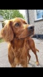 Red Setter lost in Glanmire