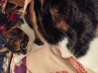 Lost multicolored female cat cathedral road Cork