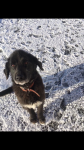 Male black retriever / sheepdog cross in charleville/ kilmallock area