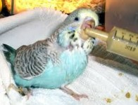 MISSING BUDGIE IN BALLINHASSIG!!!