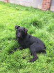 Lost black Patterdale terrier- answers to Oscar in Kerry, Tralee KERRY area.