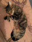 Young female tabby lost in Ballybrowney area of Rathcormac