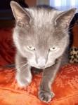 Lost smokey grey/blue male neutered cat.  Name Levi