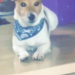 Jack Russell, flopay ears, collar, all brown face