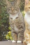 Gray and black tabby male cat lost in waterfall/gogginshill area