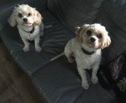 Our 2 Cavachons have gone missing near Ballineen, West Cork