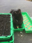 Male neutered cat Black with white front from Skeenarinky Tipperary