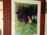 Lost, male black white detail sheep dog cross, in the  ,barrakilla ,aghada area.