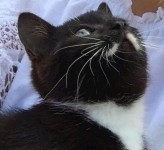 neutered male black/dark brown cat with a white moustache!
