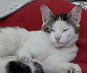 Adult male cat Kerry (North)