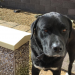 Merle a black Labrador lost on north side of cork