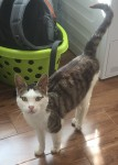 Found Male white/tabby cat in Gneeveguilla area Kerry