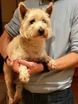 Westie found Carrigaline