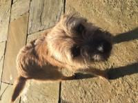 Found: Female Border Terrier in Cullen