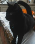 Black cat lost  in Anglesboro