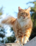 Marmalade Cat lost near Fedamore Co. Limerick