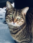Young female Tabby lost Blackrock Cork