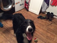 Male Sheepdog found: Douglas