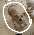 12 year old brown female pom/terrier mix,missing from the Midleton area!