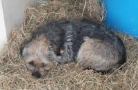 Black and Brown Boarder Terrier Lost in Enniskeane Area