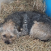 Black and Brown Boarder Terrier Lost in Enniskeane Area