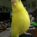 Yellow Budgie lost near Enniskeane (Kilcoleman Farm)