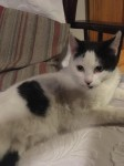 Recently spayed female cat found