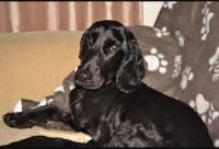 male cocker spaniel,6 year old.lost in Lissarda Cork