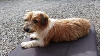 Male brown & white dog missing from Glanworth