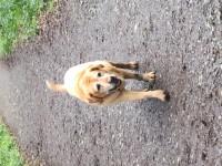 Older golden labrador/retriever in Douglas woods Jan 27