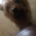 Female Yorkshire terrier Clondulane/Fermoy  area
