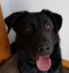 Black Labrador Found at Garrettstown Beach