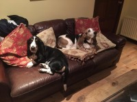 Two Bassett Hounds. Male. Neutered and chipped.