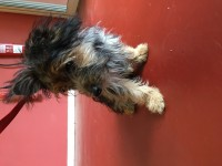 Female Yorkshire Terrier – Sundays Well
