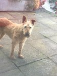Irish terrier list in Blackrock/Ballintemple area