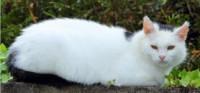 White female cat lost in Ballinhassig
