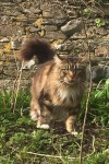 Male Maine Coon cat lost in Kinsale