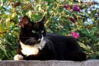 Thunder – Black cat with white socks – Missing Ballyvolane