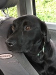 Female black lab.