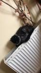 Male Smokey black Persian cat lost in mallow