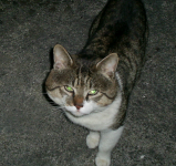 Male Cat Missing in Mahon