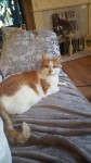 Ginger and white cat with green eyes lost in togher