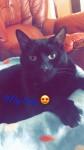 Lost jet black cat in Boherbue,Mallow