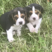 2 Beagle pups missing from Kilwatermoy (Tallow/Youghal)