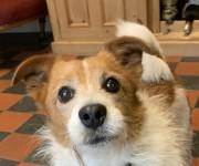 Found last night – dog, terrier x type, Mardyke  area of Cork city