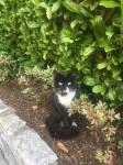 Found black and white cat cork