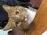 George: Male marmalade cat. Lost at 2, Greenhills EST , South Douglas Road, Cork