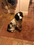 Springer Spaniel Male Black and White 3yr old lost in the Kilbeg area of Bandon