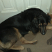 Male German Shepherd mixed with Lab lost in Ballincollig